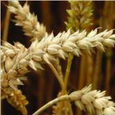 wheat-01